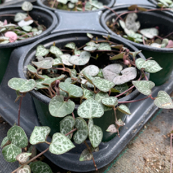Featured Plants & Flowers - Eckerts Greenhouse - stringofhearts